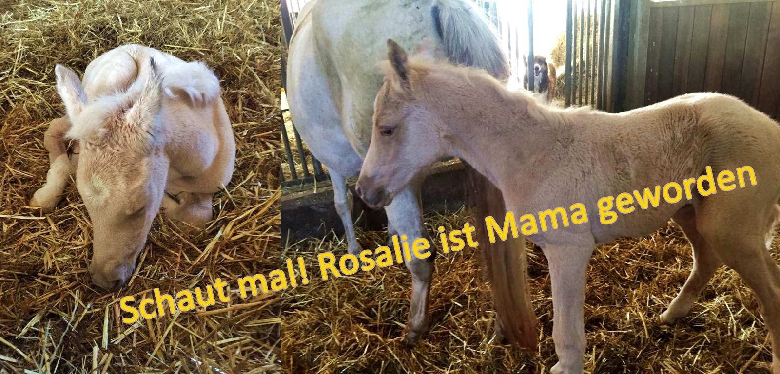 Rosalie-Fohlen